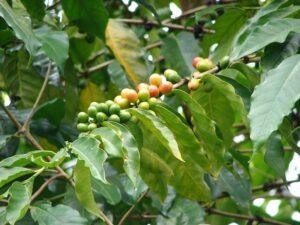 soiuri de cafea Arabică