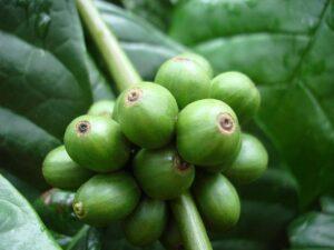 soiuri de cafea Robustă