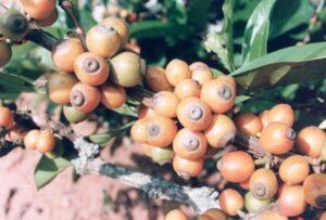 soiuri de cafea Liberica