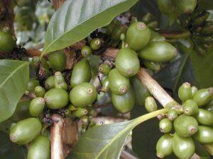 soiuri de cafea Maragogype